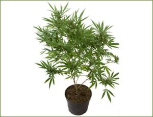 marijuana01g